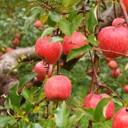 本当のりんごの味